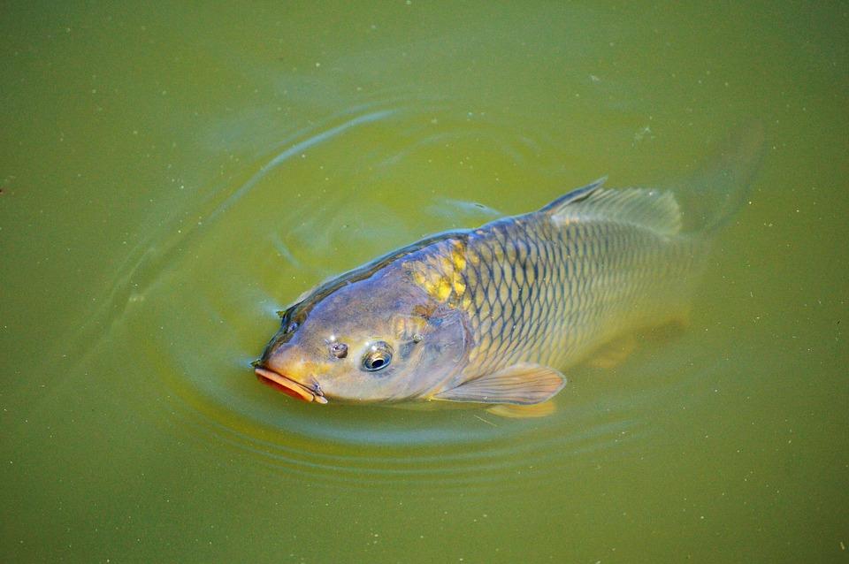 Sejarah  Dan Perkembangan Ikan Mas di Britania
