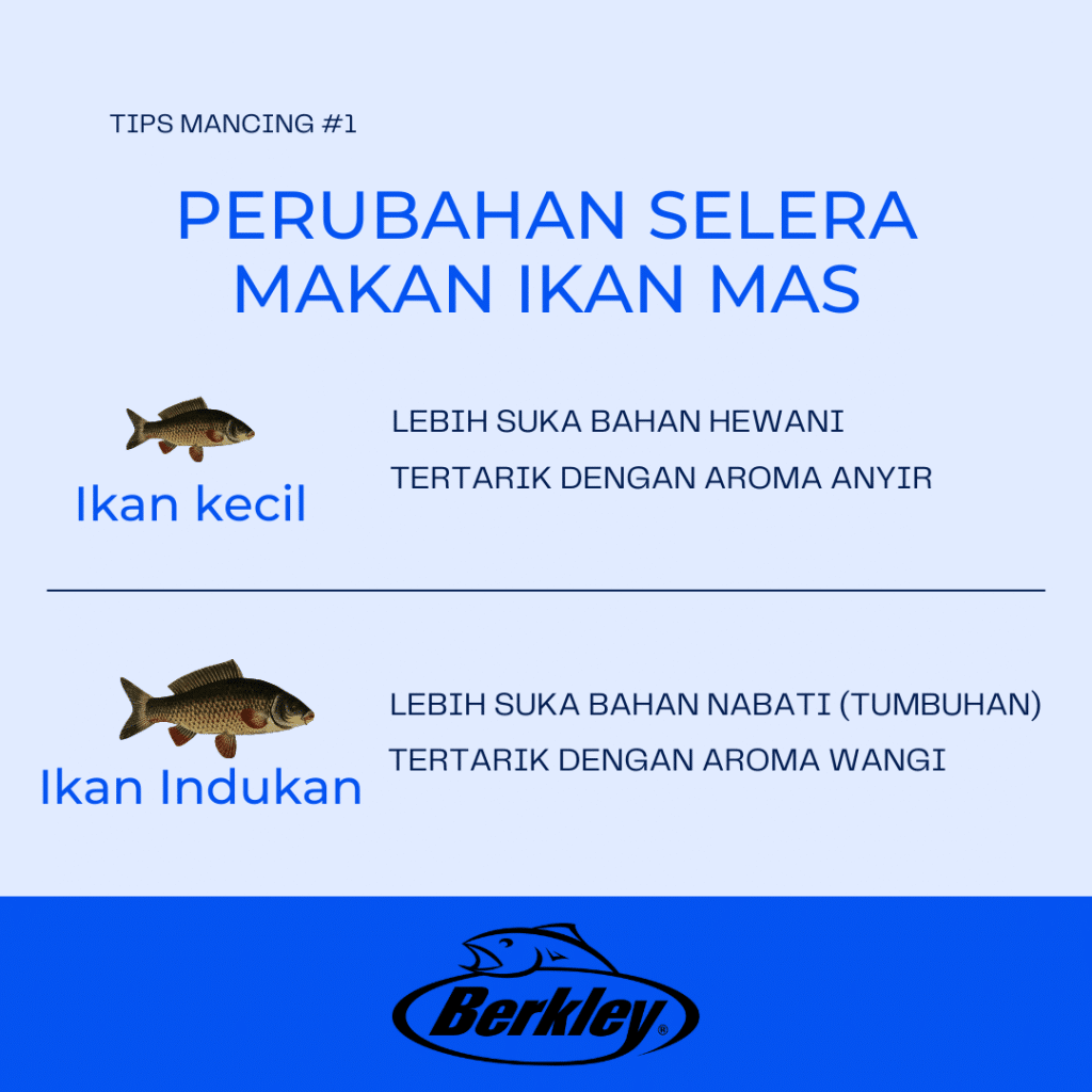 infografis perubahan selera makan ikan mas dari kecil sampai menjadi indukan